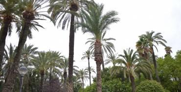 La lucha biológica contra el picudo mantiene sanas a más del 99% de las palmeras en las que se ha aplicado el hongo