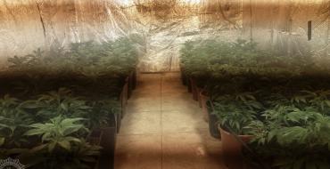 Desmantelado cultivo con 440 plantas de marihuana en Torrellano