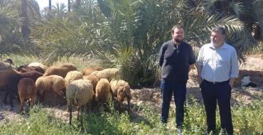 L'Ajuntament presenta una iniciativa en la qual ovelles guirra cuiden del Palmerar