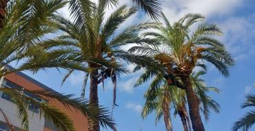 El Ayuntamiento intensifica la poda de palmeras antes de que comience el curso escolar