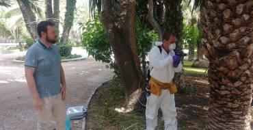 Un total de 80 palmeras son tratadas con emamectina, la herramienta más eficaz para la lucha contra el picudo