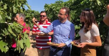 La producción de brevas en el Camp d'Elx alcanzará este año el millón de kilos