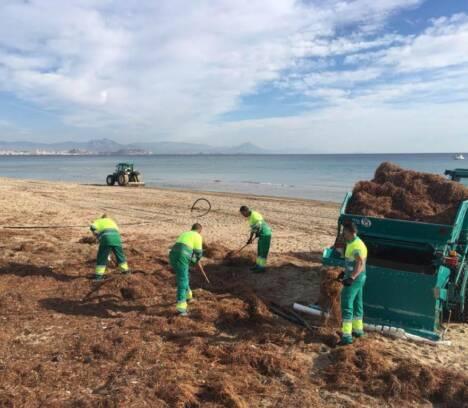 Continúa la puesta a punto de las playas ilicitanas de cara a la campaña de Semana Santa