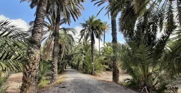 El Ayuntamiento de Elche podará los huertos y mejorará el caminal de la Ruta del Palmeral histórico