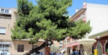 L'Ajuntament d'Elx dona suport a la candidatura del 'Pi de la Baia' a Arbre Europeu 2021