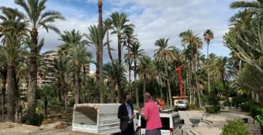 El Ayuntamiento inicia en el Hort de Baix los trabajos de poda y mantenimiento de más de 10.000 palmeras de huertos Patrimonio de la Humanidad