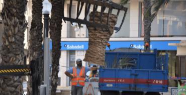 L'Ajuntament reposarà en els pròxims dies la palmera infectada per morrut retirada hui de la Glorieta