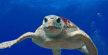 """Elx se suma a la campanya """"Tortugues al Mediterrani"""" de la Fundació Oceanogràfic per a la preservació de la tortuga careta"""