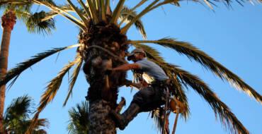 El Ayuntamiento contrata con empresas la poda de palmeras en la vía pública para mejorar el estado del Palmeral
