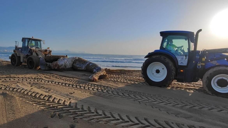 Operarios del servicio de limpieza retiran de la playa de El Altet una ballena muerta de cerca de ocho toneladas